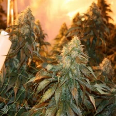 Киви сорт конопли марихуана выращивать