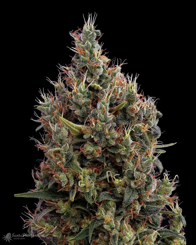 Семена конопля на заказ сколько раз в день курят марихуану