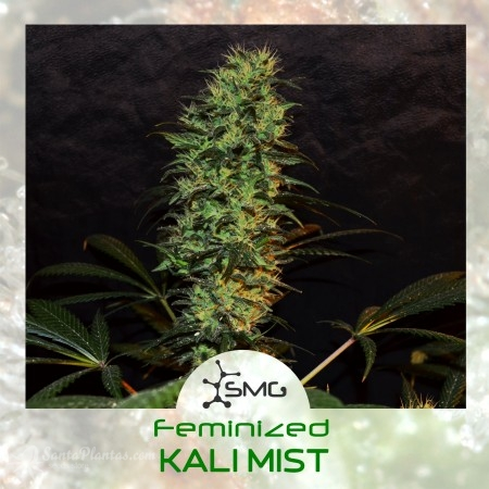 Kali Mist – 6+2 fem