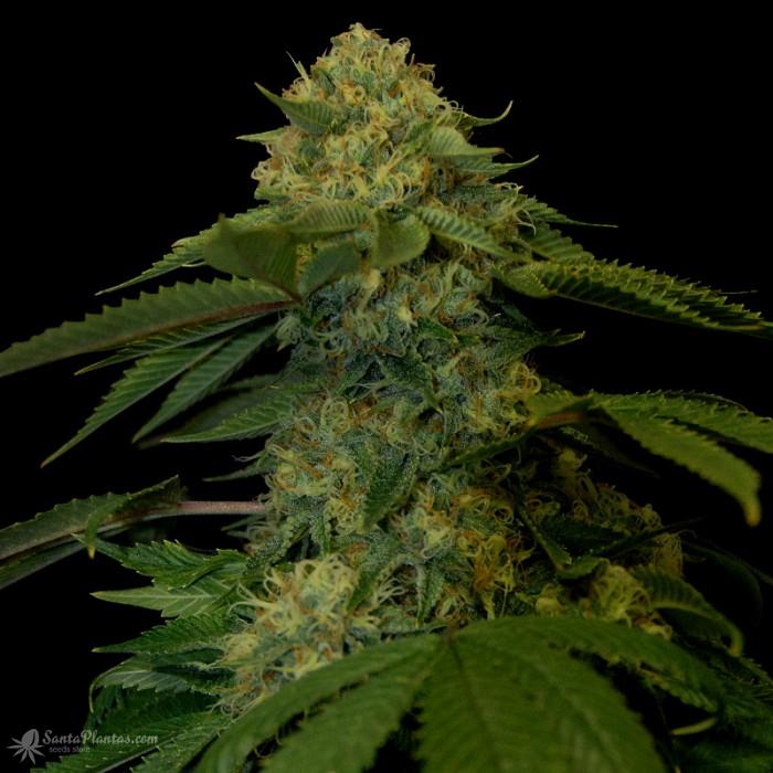 24 сорта конопли изменение сознания при курении марихуаны