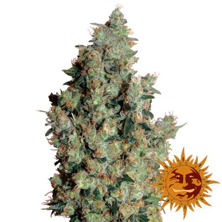 : Купить семена конопли : магазин семян Santaplantas.com