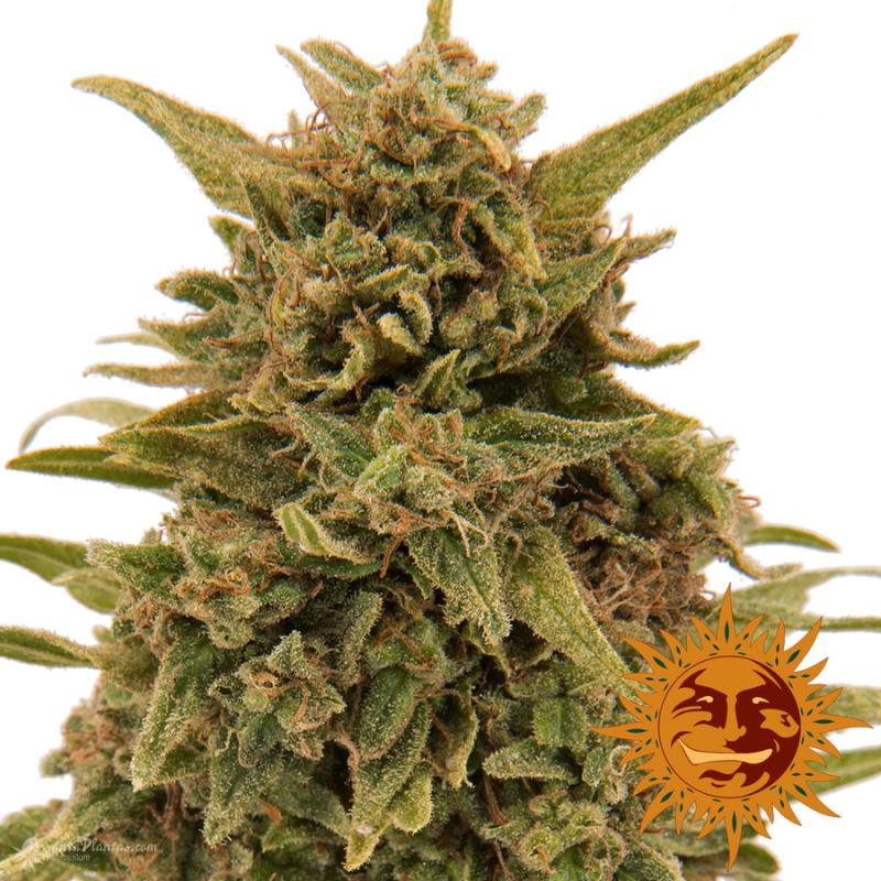 Конопля семена из голландии уральск марихуана